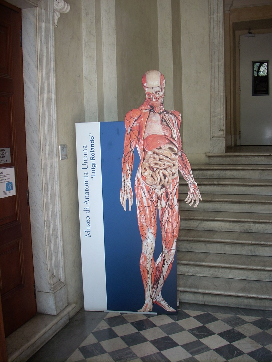The Museum Of Human Anatomy Luigi Rolando Himetop